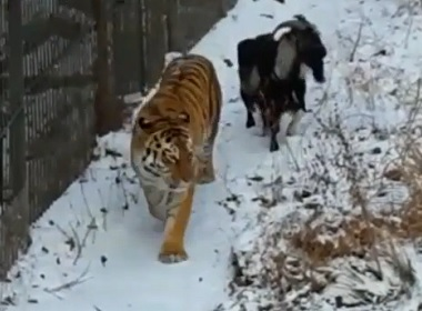 Viral Video: Lonely Russian Tiger Is Friends with Goat