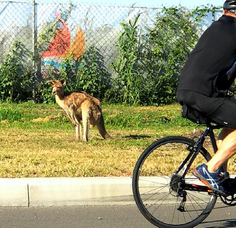 Кенгуру на обочине, город Голд Кост, Австралия, Квинсленд.
